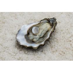 Oysters Spéciales de Claires Marennes Oléron N°3