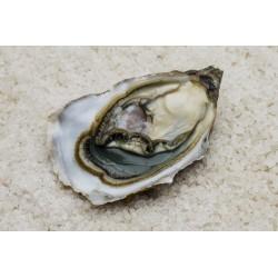 """Oysters Spéciales de Claires """"La Pousse en Claire"""" Label Rouge N°3"""